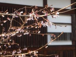 本殿南側の十月桜