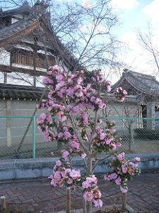 長徳寺のサザンカ
