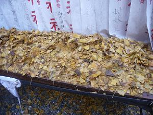 たくさんのイチョウの葉