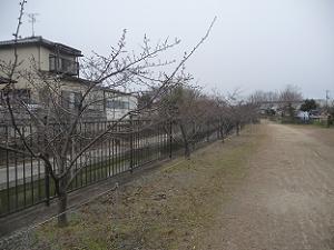 枝だけの河津桜