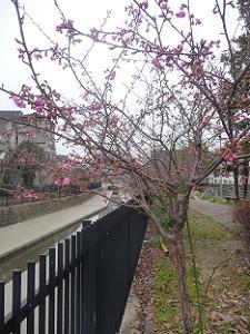 最も開花している河津桜