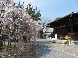 阿亀桜と本堂