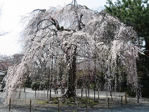見ごろの阿亀桜