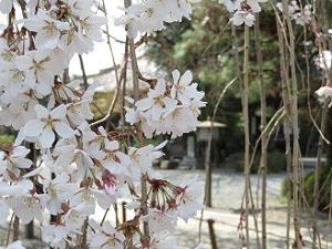 阿亀桜のアップ