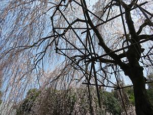 見上げる阿亀桜