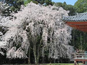 金堂脇の枝垂れ桜
