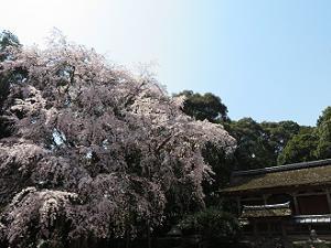 清瀧宮本殿と枝垂れ桜