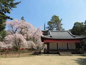 清瀧宮拝殿と枝垂れ桜