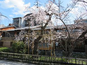 見ごろ前の枝垂れ桜
