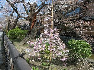 背の低い枝垂れ桜