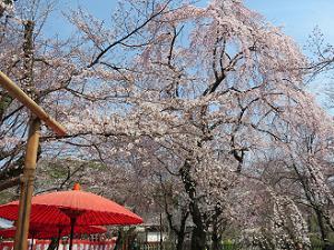 傘と枝垂れ桜