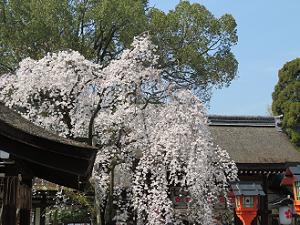 神門と魁桜