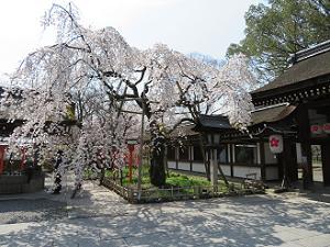 横から見る魁桜
