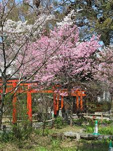 陽光桜と鳥居