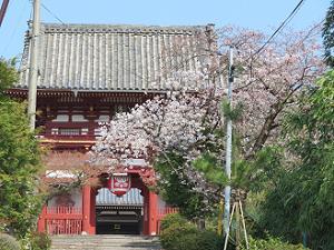 仁王門と桜