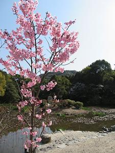 陽光桜と氷室池