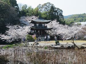 氷室池越しに見る観音堂と桜