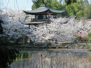 満開の桜と観音堂