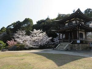 芝生と観音堂と桜