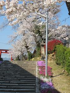 芝桜とソメイヨシノ