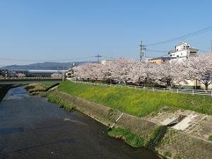 山科川の桜並木