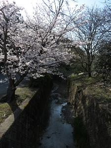 川のほとりの桜