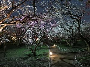 ライトアップされた梅苑