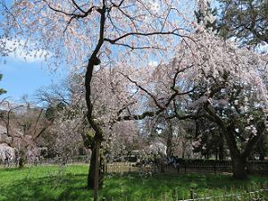 糸桜と芝生