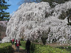 満開の糸桜