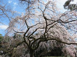 見上げる糸桜