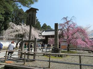 総門と枝垂れ桜