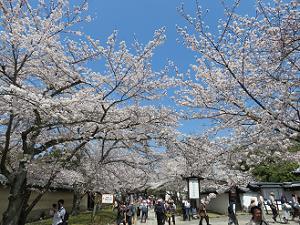 霊宝館前の参道の桜