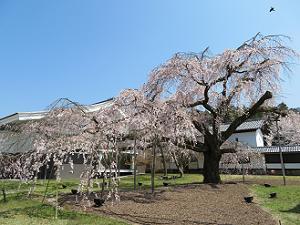 枝垂れ桜と霊宝館