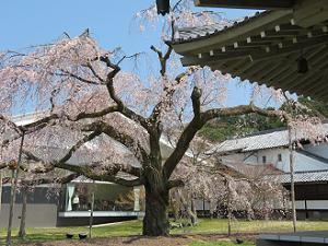 仏像棟から見る枝垂れ桜