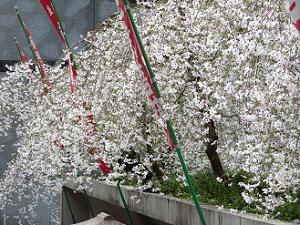 滝のような枝垂れ桜