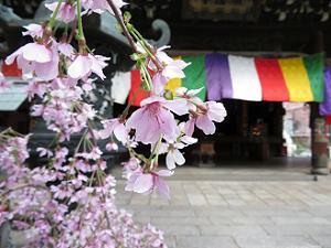 富士シダレ桜