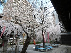 寺務所前の桜