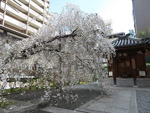 真っ白な御幸桜