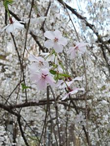 御幸桜のアップ