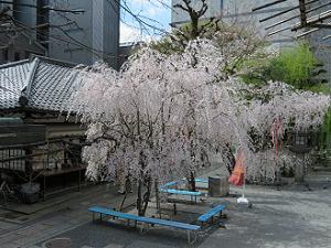 寺務所と枝垂れ桜