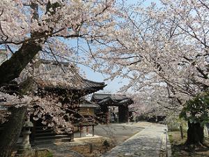 妙見堂と桜