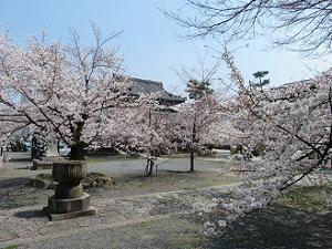 桜が咲き誇る境内