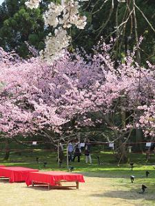 床几台と紅色の桜
