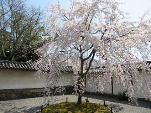 クローン桜