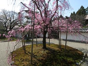 三宝院の八重紅枝垂れ桜