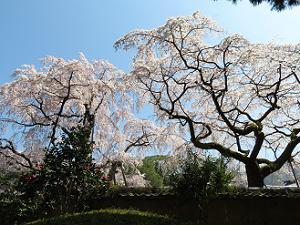 見上げる土牛の桜
