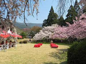 憲深林苑の満開の桜
