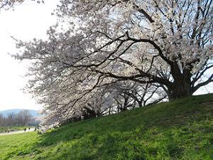 芝生と満開の桜
