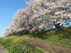 堤防西端の桜