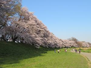 西日を受けた桜並木